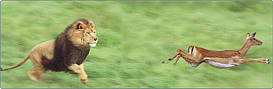 gazelle running from lion - photo #7